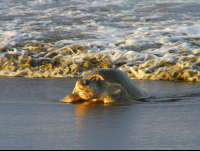olive ridley sea turtle coming out of the ocean ostional beach