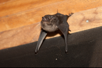 bat on a wall