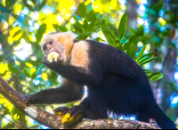 white faced monkey at hotel manglares puerto jimenez 