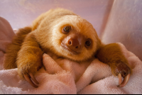 baby two toed sloth rescue center