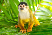 endangered squirrel monkey looking up
