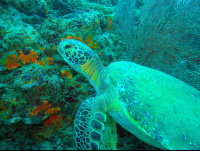 pacific green sea turtle in front of coral reef