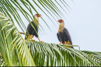 falcons perched on a coconut tree branch