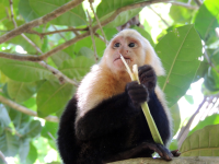 Capuchin monkey chewing on a bromeliad leaf
