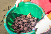 bucket of baby turtles ready to be released at piro beach  - Costa Rica