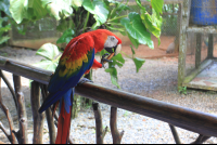 Scarlet macaw eating a snack