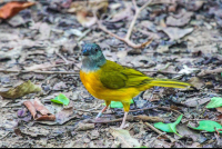 yellow bird eating ants