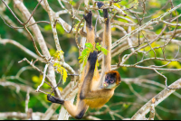 spider monkey curu refuge 