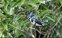 Female Amazon Kingfisher Perching on a Branch over the River