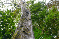 tall tree at sirena ranger station
