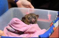 A baby kinkajou waking up from a nap