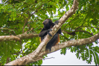 howler monkey on tree top