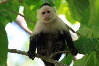 cahuita national park attraction page capuchin 