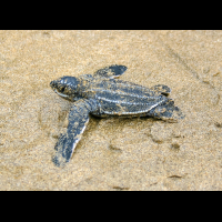 one baby leatherback turtle sprinting to the ocean at playa bonita limon