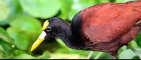 tortuguero national park attraction northern jacana 