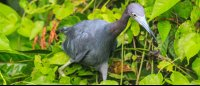 tortuguero national park attraction blue heron 