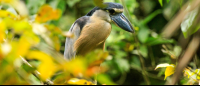 A boat billed heron watches over its young 