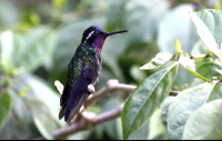 curi cancha purple throated mountain gem 