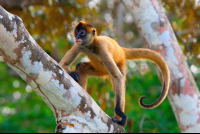 spider monkey climbing tree at cuu wildlife refuge Edit