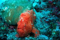 cocos frogfish