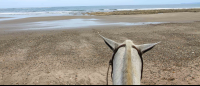 horse ears facing the ocean at ario beach  - Costa Rica