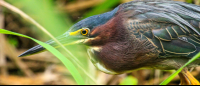 Adult green heron stalking through the grass looking for bugs to use at bait for catching minnows