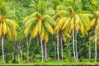 coconut tree row sierpe mangler