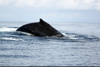 Humpback whales breaching the surface