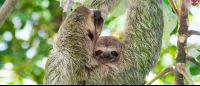 manuel antonio destination three toed sloth    - Costa Rica