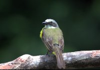 Yellow Social Flycatcher Perching on a Log