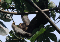 Three toed sloth lumbers across a cecropia tree