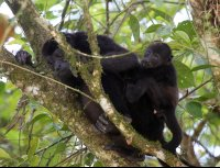 Baby Howler Monkey Clinging to His Mother