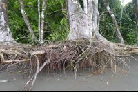 tree roots on the beach at sirena ranger station