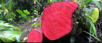 tortuguero national park attraction red tree 
