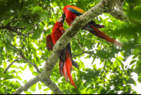 macaws kissing on the top of the trees in sirena ranger station corcovado