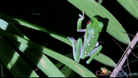 red_eyed tree frog.png