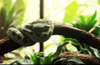 A pit viper coiled on a branch inside a terrarium
