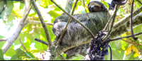 A three toed sloth sleeping in a cecropia tree