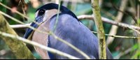 tortuguero national park attraction boat billed heron 