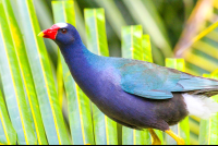 purple gallinule clambering on a palm