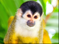 squirrel monkey face closeup