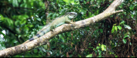 tortuguero national park attraction green iguana 