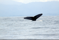 ballena national marine park tail 
