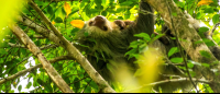 Two toed sloth and its baby hanging upside down in a tree 