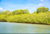 mangrove fringed riverbank in the tamarindo estuary
