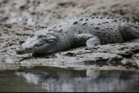 American Crocodile Resting on a Log