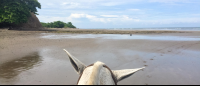 horse ears on ario beach  - Costa Rica