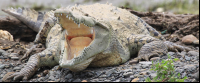 crocodile yawing on the shore of tarcoles river   - Costa Rica