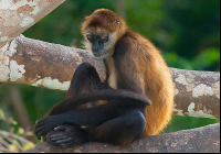lone spider monkey on tree branch Edit
