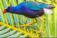 purple gallinule on sierpe mangler